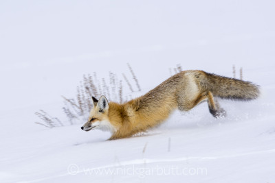 A Red Fox running in deep snow