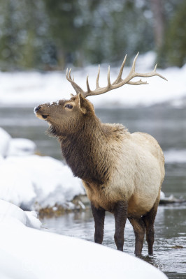 Our first good photo opportunity along the Madison River: this magnificent bull Elk