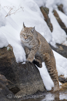 Our first Bobcat along the Madison River. Encounters like this are few and far between