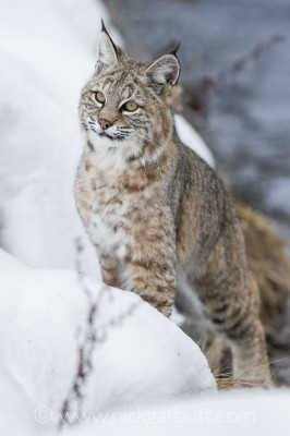The Madison River Valley offers a realistic chance of seeing a Bobcat