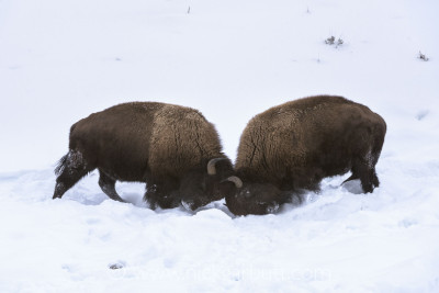Male Bison sparing in the Lamar Valley