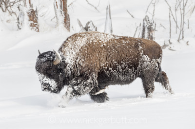 After a cold night in the Firehole Valley, this male Bison is covered in frost
