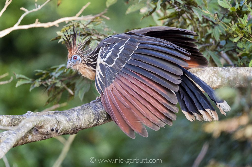 Hoatzin in river-side vegetation