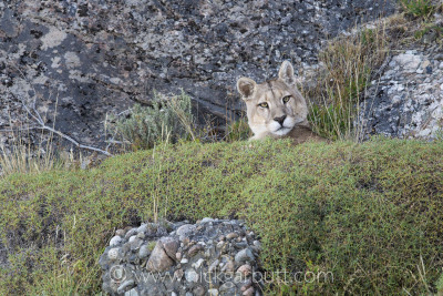 A male Puma rests lazily among the rocks