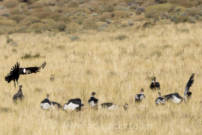 Andean Condors gather on a carcass