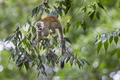 Squirrel Monkey in rainforest canopy