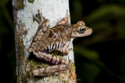 Tree frogs abound in Manu