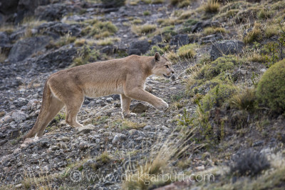 This female Pumas was exceptionally tolerant and walked by no more than 20m away