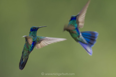 Sparkling Violetear are common in many cloud forests