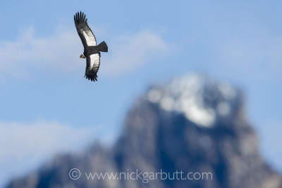 A male Andean Condor soars over Torres del Paine