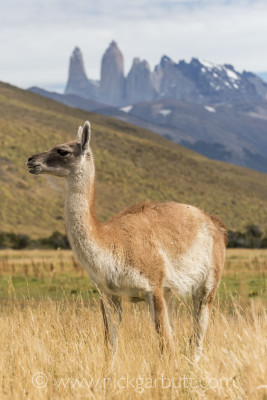 A Guanaco feeds in the shadow of the Towers of Torres del Paine