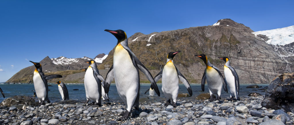 King Penguins at Gold Harbour, South Georgia