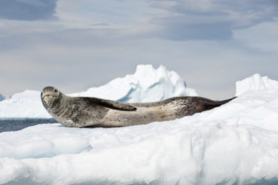 Leopard Seal on ice flows