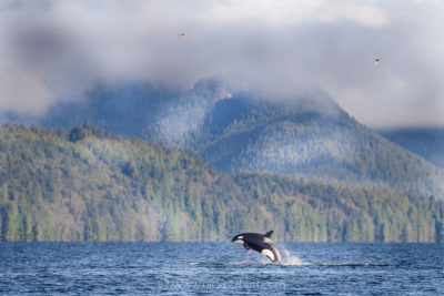 Orca leaping in Mathieson Channel