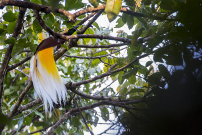 Lesser Bird of Paradise displaying in the canopy