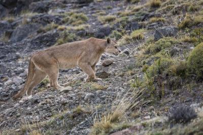 Female Puma prowls her territory