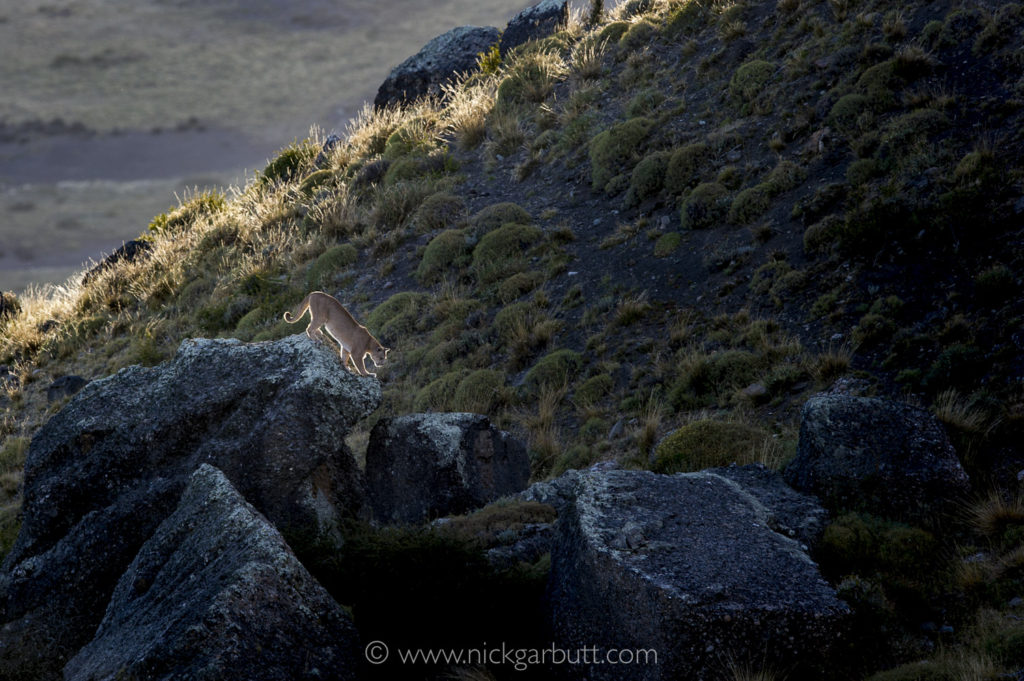 A Puma climbs among boulders at sunset
