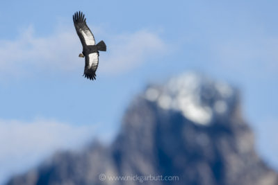 Andean Condor over the Torres del Paine