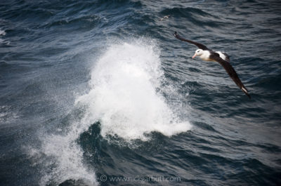 Black-browed Albatross at sea