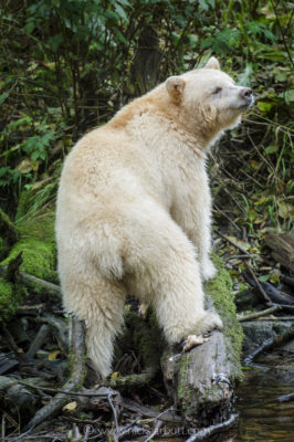 Spirit Bear on Gribbel Island