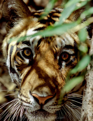 The intense stare of a tiger is incomparable