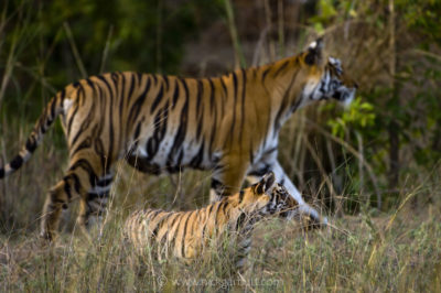 A female Tiger with cub
