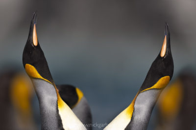 King Penguins displaying