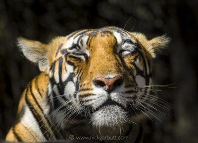 A female Tiger basks morning sun light