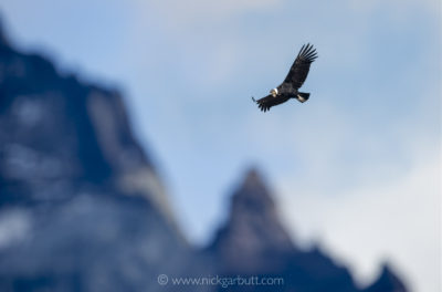 Andean Condor over the Torres del Paine Massif