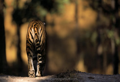 Male Tiger wanders a forest track in Kanha