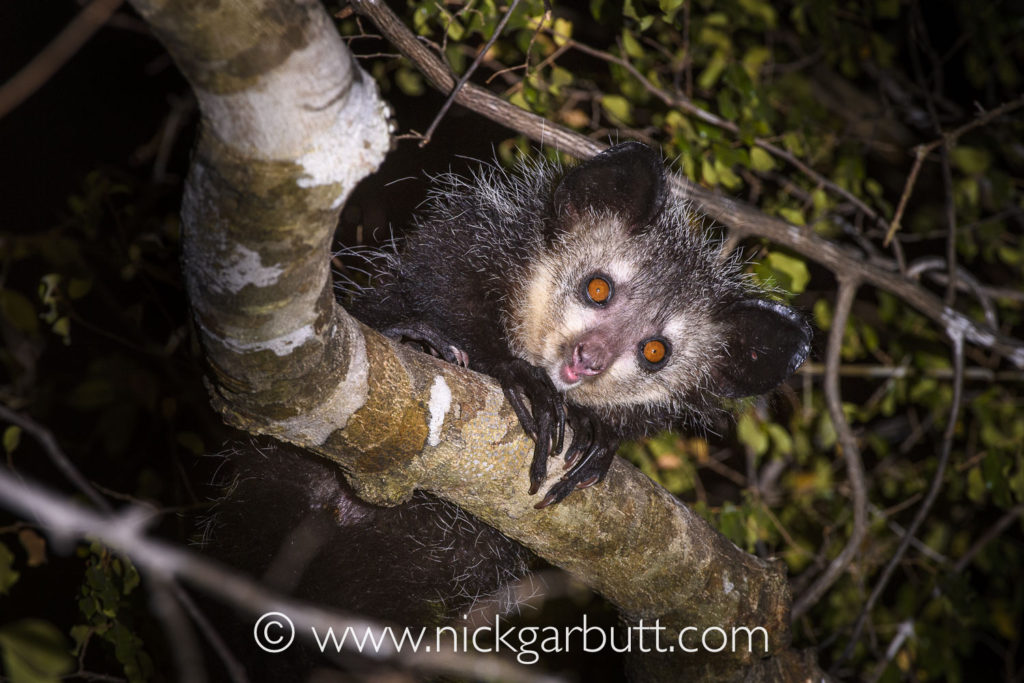 An Aye-aye peers down from the canopy