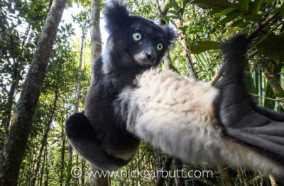 An indri reaching for leaves in the tree tops in Andasibe