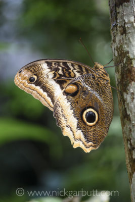 Owl-eye Butterfly shortly after emerging from its cocoon.