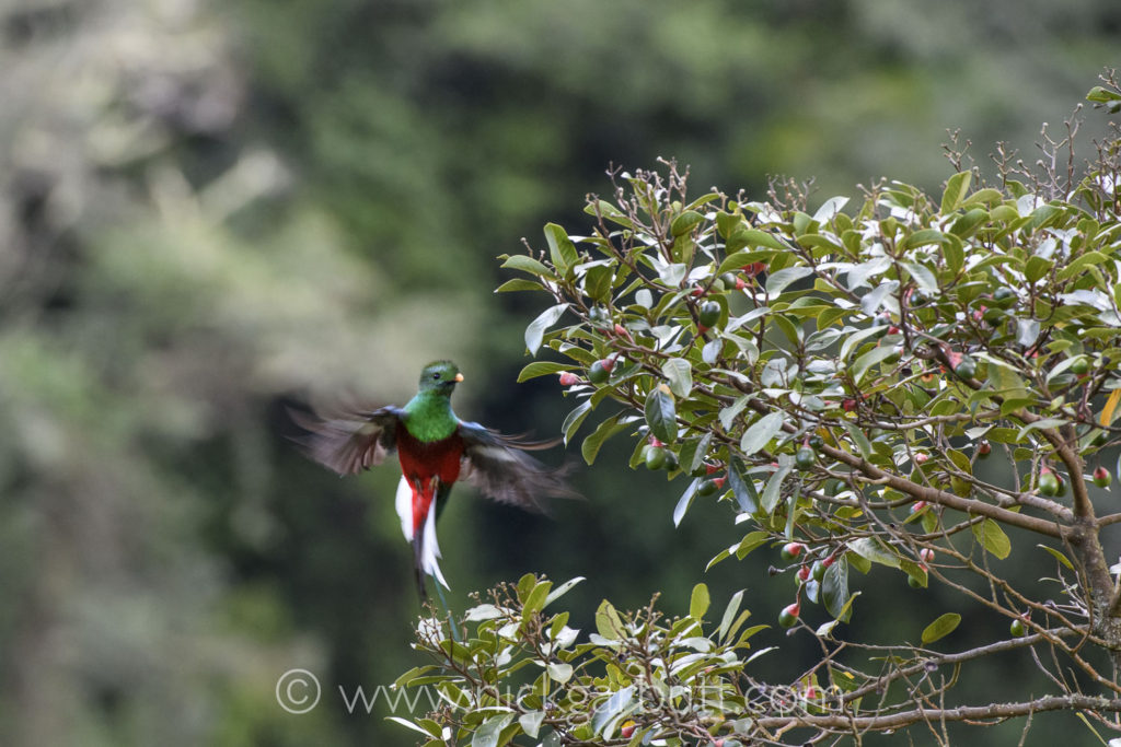 Male Resplendent Quetzal flying into a wild avocado tree.