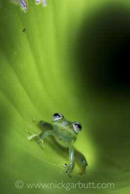 Montane Glass Frog inside curled leaf.