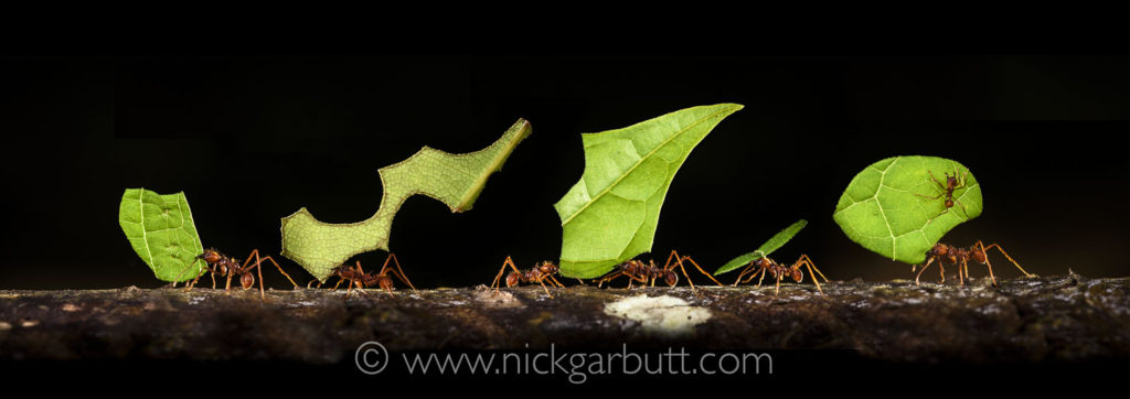 Leaf-cutter Ants are widespread in many rainforest areas.
