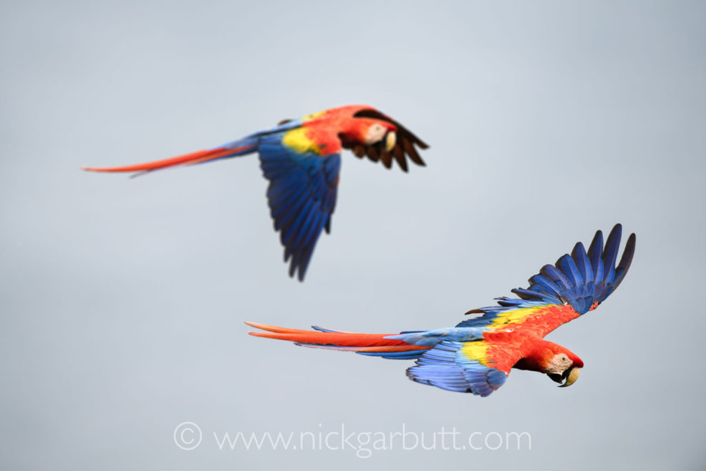 Scarlet Macaws in flight at Bosque del Cabo.